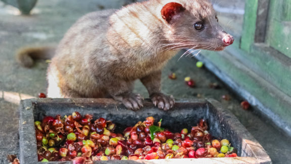 Luwak (civet cat) eating coffee bean